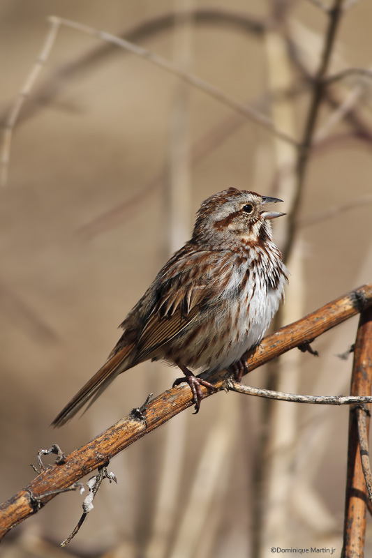 Bruant Chanteur / Song Sparrow 2905