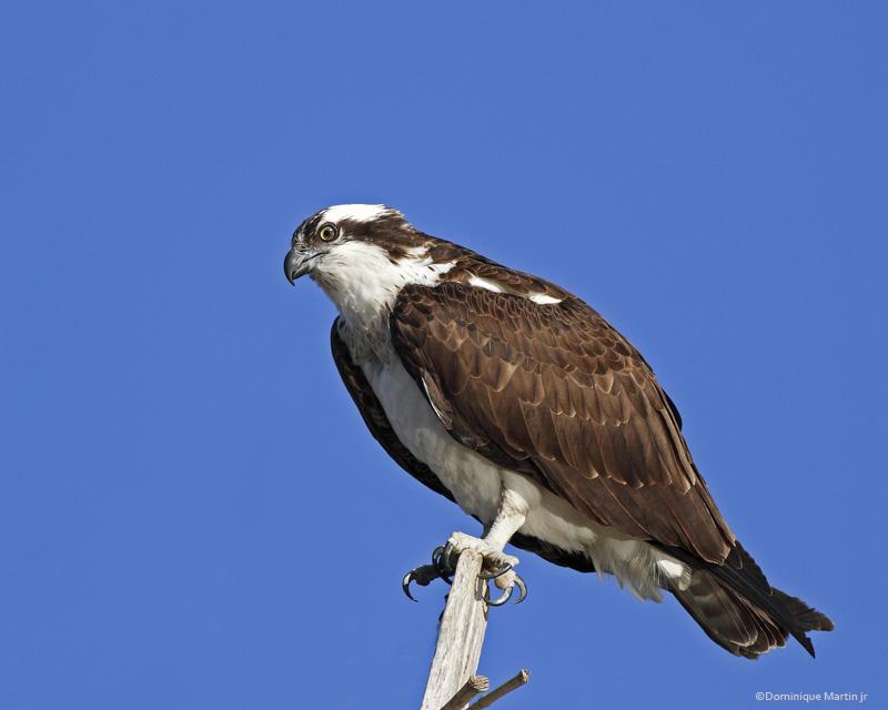 Balbuzard Pêcheur / Osprey 5961