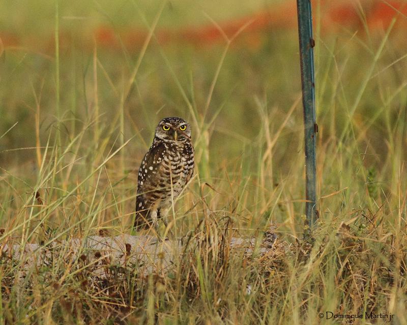 Chevêche des terriers / Burrowing Owl  8613