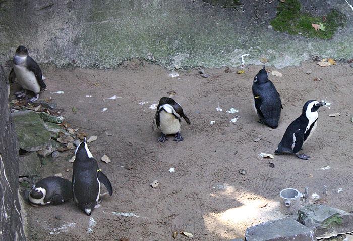African Black Footed Penguins