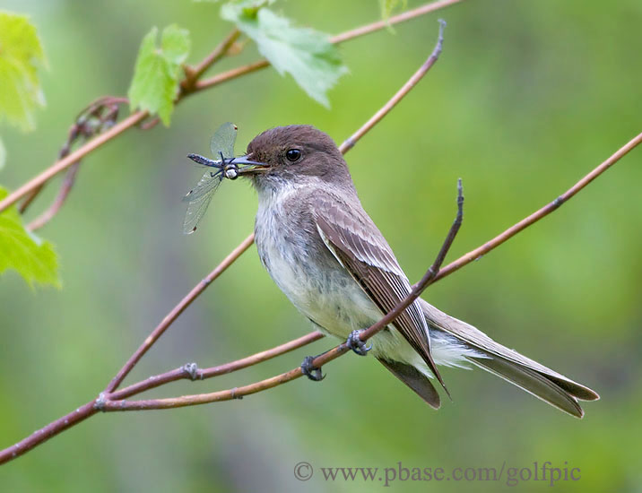 Eastern Phoebe with dragonfly