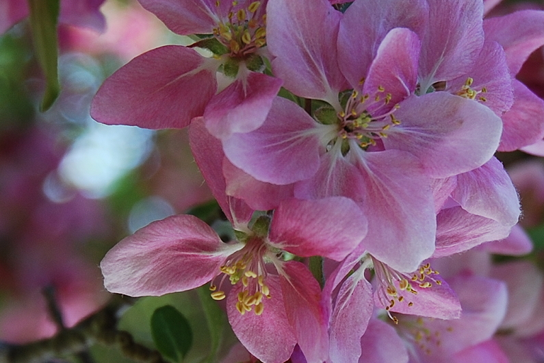 Apple blossoms IV