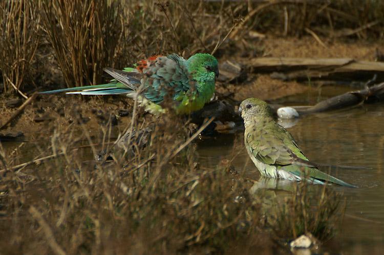 04067 - Red-rumped Parrot - Psephotus haematonotus