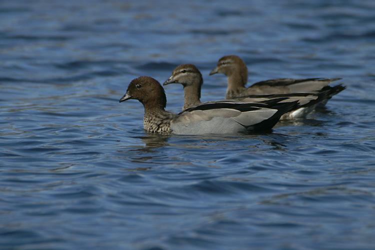 00133 - Maned Duck - Chenonetta jubata