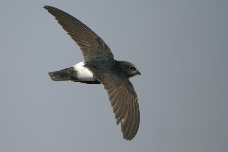 02798 - Little Swift - Apus affinis