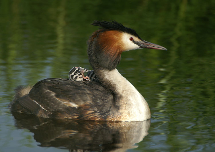 00716 - Great Crested Grebe - Podiceps cristatus