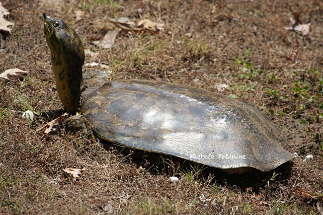 spiny soft shelled turtle 0345 2 6-1-08.jpg