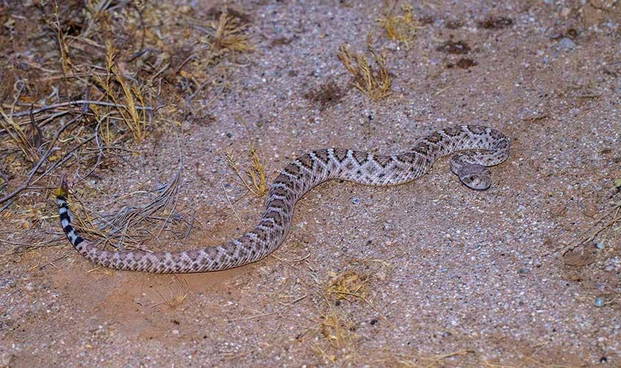 Western Diamondback rattlesnake. Crotalus atrox. IMG_7785.jpg