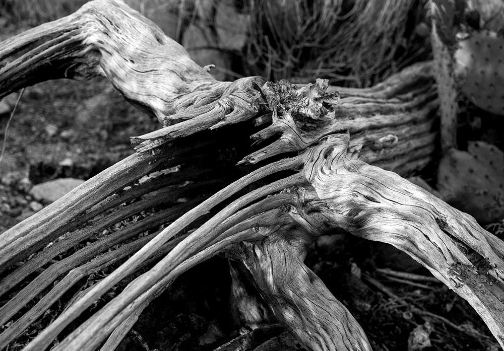 Saguaro cactus skeleton. IMG_8618.jpg