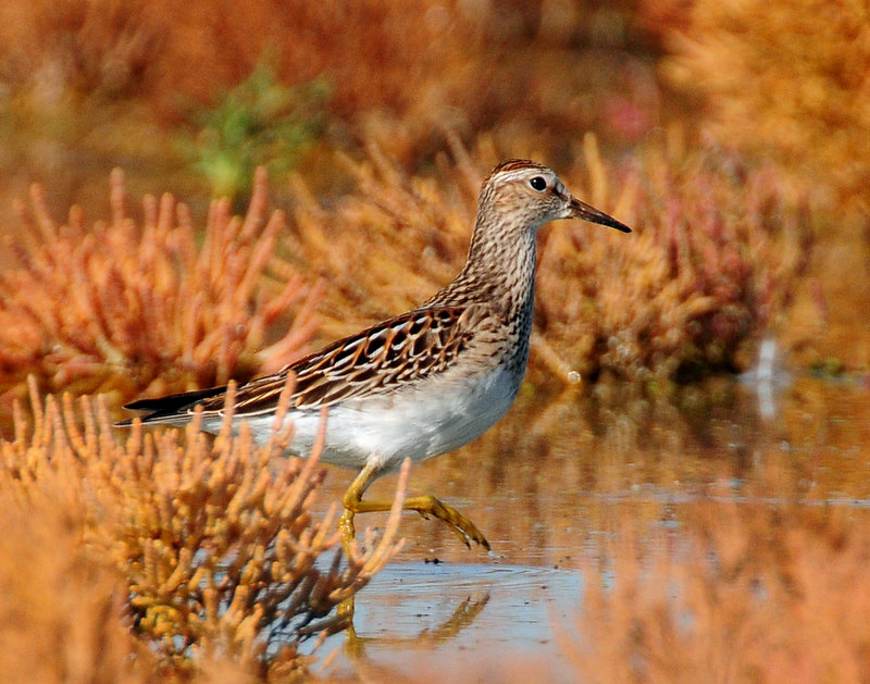 Pectoral Sandpiper in Autumn