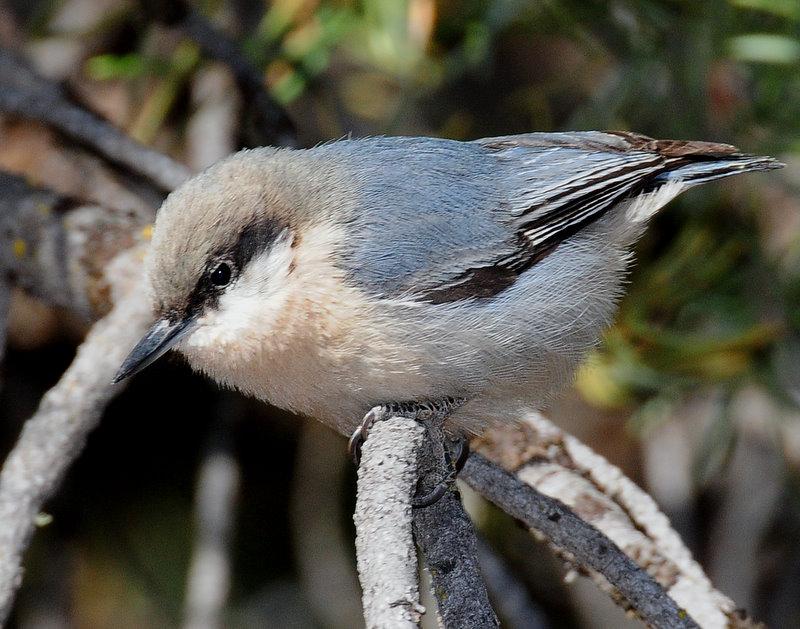 Nuthatch, Pygmy