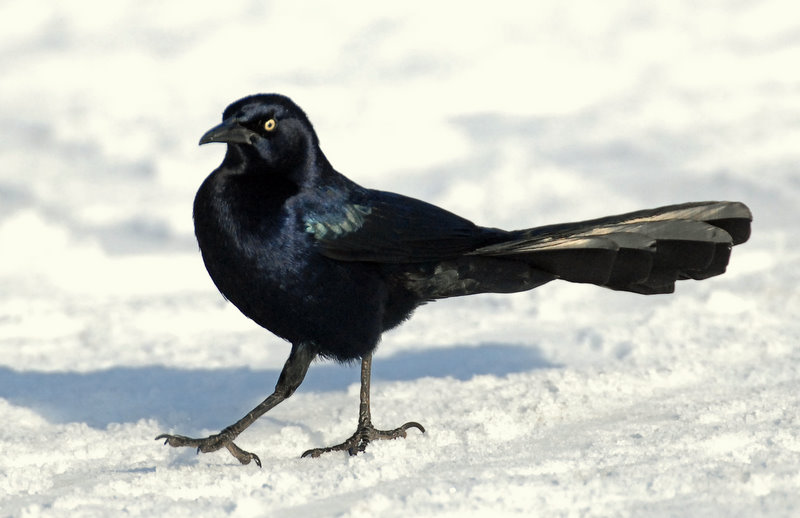 Grackle, Great-tailed