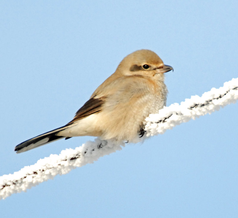Shrike, Northern (Juvenile)