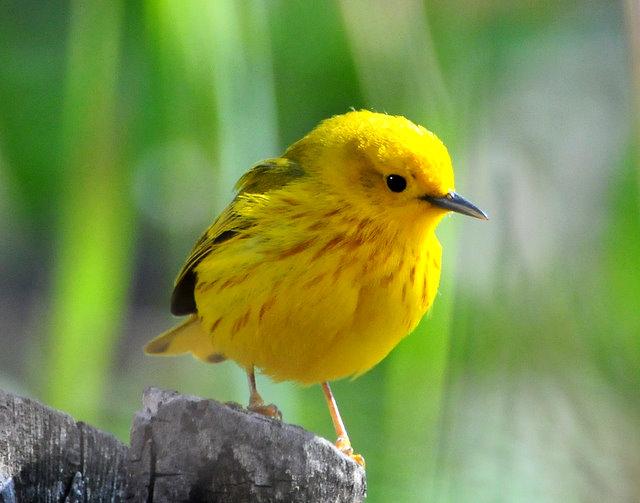 Warbler Yellow D-015.jpg