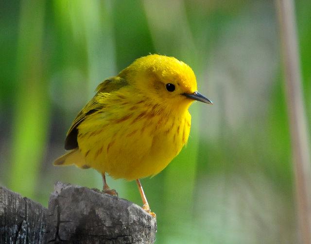 Warbler Yellow D-016.jpg