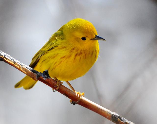Warbler Yellow D-023.jpg