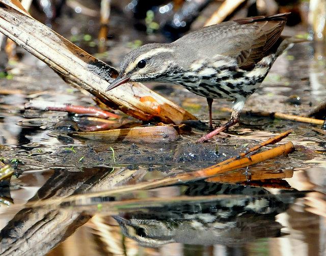 Waterthrush Northern D-023.jpg
