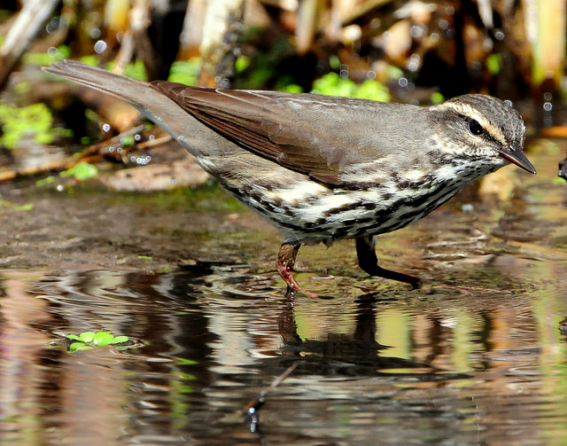 Waterthrush Northern D-026.jpg