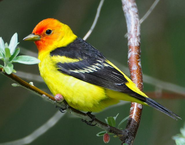 Tanager Western D-028.jpg