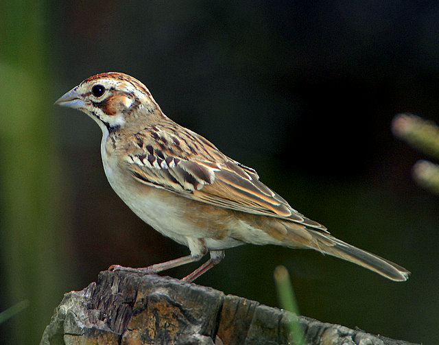 Sparrow Lark D-001.jpg