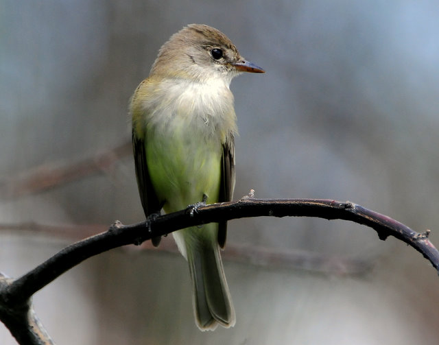 Flycatcher Willow D-004.jpg