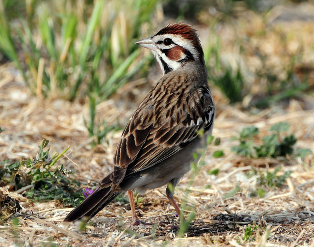 Sparrow Lark D-007.jpg