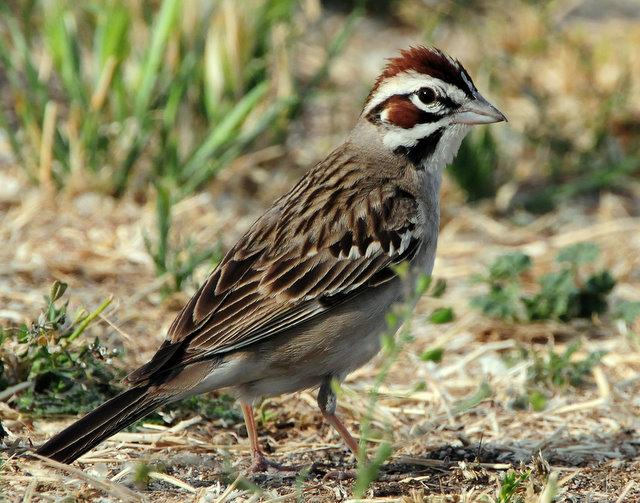 Sparrow Lark D-009.jpg