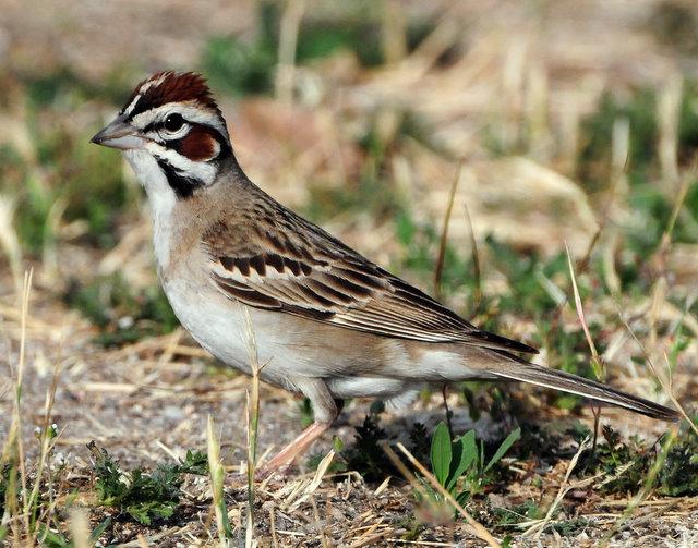 Sparrow Lark D-011.jpg