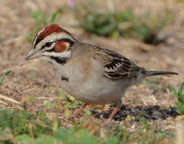 Sparrow Lark D-016.jpg