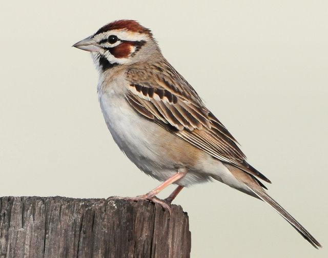 Sparrow Lark D-018.jpg