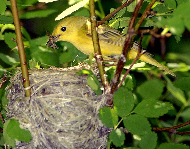 Warbler Yellow D-031.jpg