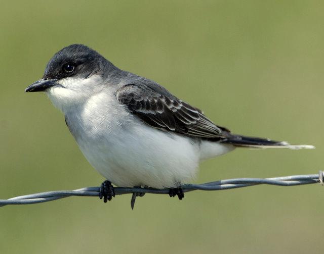 Kingbird Eastern D--004.jpg