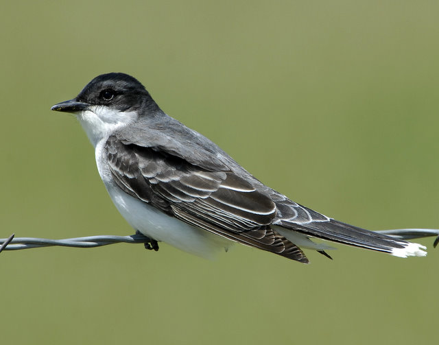 Kingbird Eastern D--003.jpg