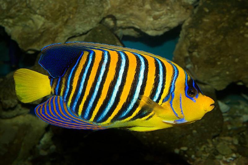 Royal(Regal) Angelfish (pygoplites diacanthus)