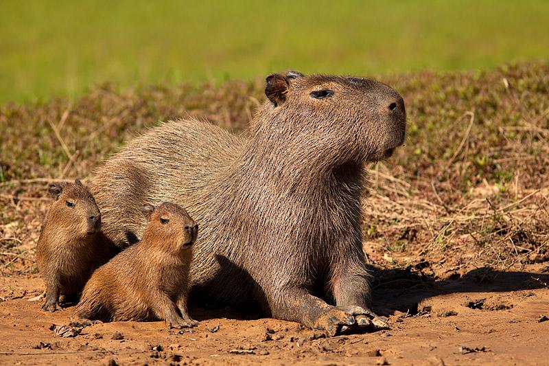 Capybara Family (hydrochoerus hydrochaeris)