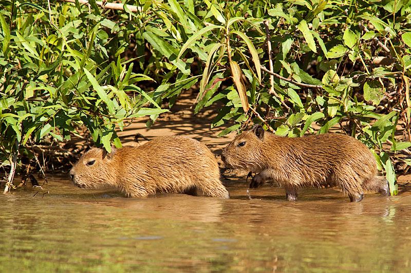 Capybara Babys (hydrochoerus hydrochaeris)