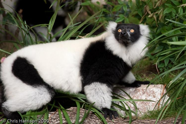 <b>Black-and-White Ruffed Lemur</b><br><i>Varecia variegata</i>