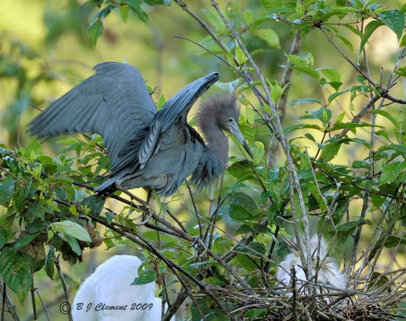 Little Blue Heron with  chicks
