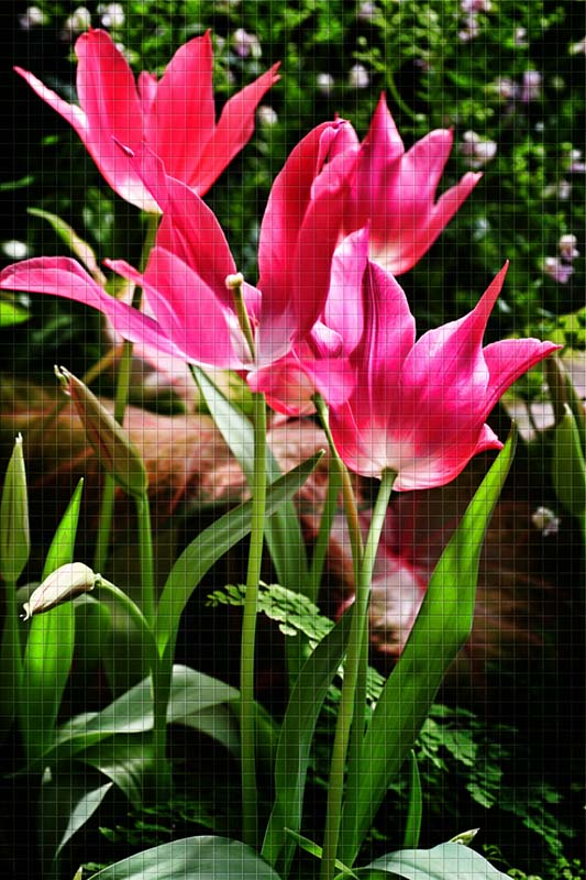 Tulips copy.jpg
