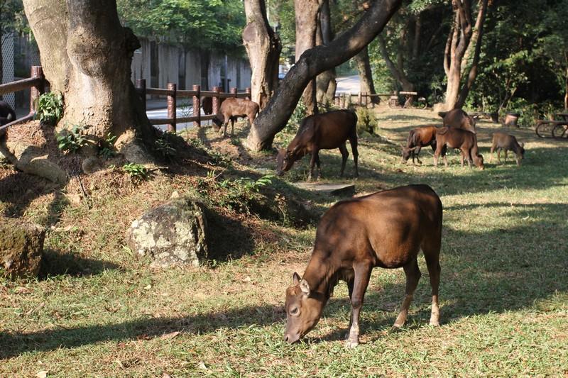 Them cows again!