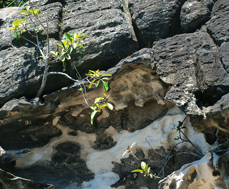 Figs growing on a rock wall
