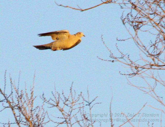 Euro-Collared Dove - IMG_0004.JPG