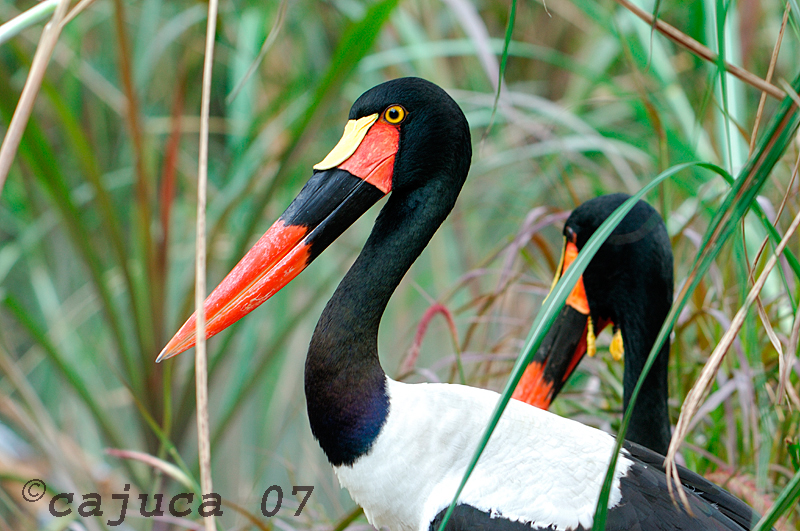 Saddle-bill Stork