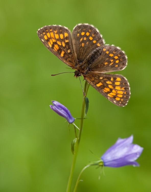 False Heath Fritillary / Woudparelmoervlinder