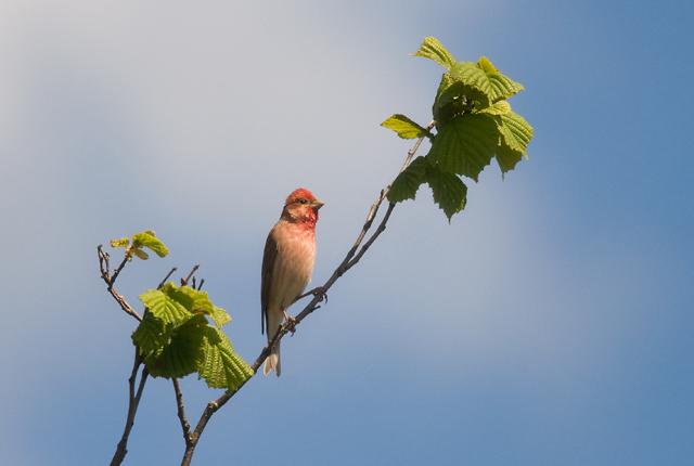 Common Rosefinch (Rosenfink)