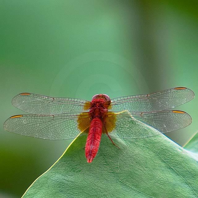 Korean Dragonfly 6766