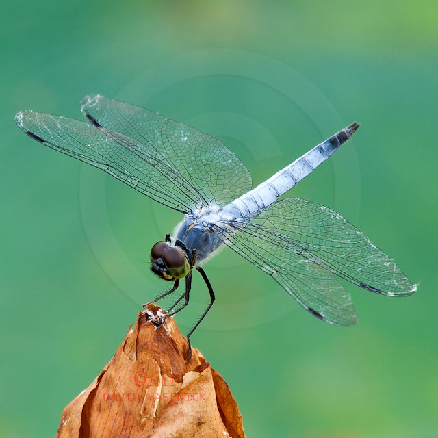 Korean Dragonfly 6578