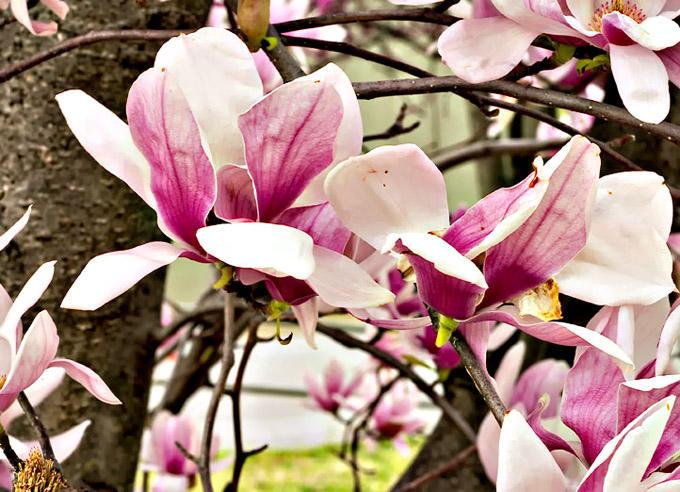 Tulip Poplar, Franklin,TN