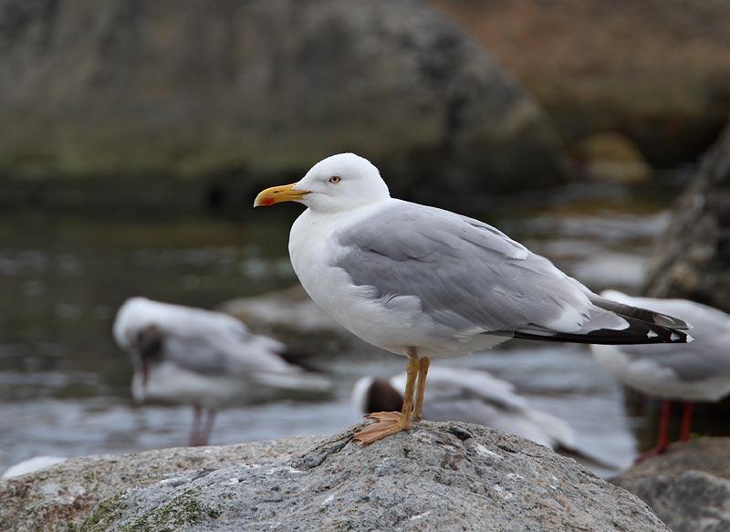 Herring Gull, ad. (with yellow feet)
