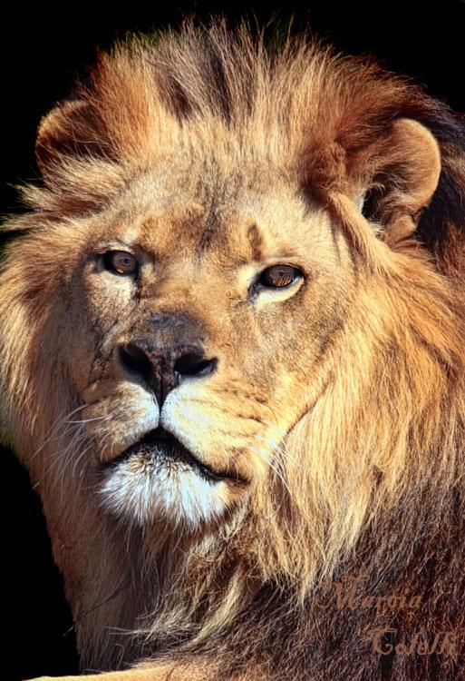 LION_4261a.jpg